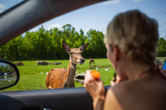 Editorial - July 29, 2014 at Parc Safari, Quebec , Canada on a b. Editorial - July 29, 2014. Cute Deer inside the Car Circuit Where you can touch and feed many stock image