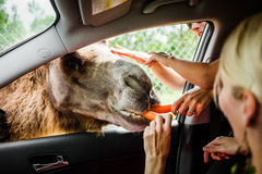 Editorial - July 29, 2014 at Parc Safari, Quebec , Canada on a b. Editorial - July 29, 2014. Girl Feeding a Camel during the Car Circuit Where you can touch and stock photo