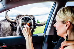 Editorial - July 29, 2014 at Parc Safari, Quebec , Canada on a b. Editorial - July 29, 2014. Girl feeding a Cow during the Car Circuit Where you can touch and stock image