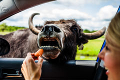 Editorial - July 29, 2014 at Parc Safari, Quebec , Canada on a b. Editorial - July 29, 2014. Girl feeding a Cow during the Car Circuit Where you can touch and royalty free stock images