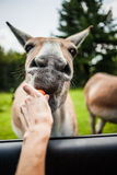 Editorial - July 29, 2014 at Parc Safari, Quebec , Canada on a b Royalty Free Stock Photography