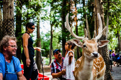 Editorial - July 29, 2014 at Parc Safari, Quebec , Canada on a b. Editorial - July 29, 2014 at the Parc Safari, Quebec , Canada inside the Deer Forest where is stock photos