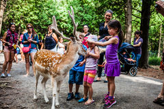 Editorial - July 29, 2014 at Parc Safari, Quebec , Canada on a b. Editorial - July 29, 2014 at the Parc Safari, Quebec , Canada inside the Deer Forest where is stock photography