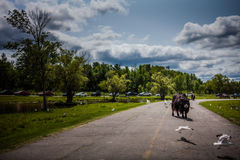 Editorial - July 29, 2014 at Parc Safari, Quebec , Canada on a b. Editorial - July 29, 2014. Lonely Cow during the Car Circuit Where you can touch and feed many stock photos