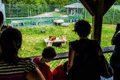Editorial - July 29, 2014 at Parc Safari, Quebec , Canada. Here is the lions cage Stock Photos
