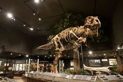 EDITORIAL, o 12 de julho de 2017, Bozeman Montana, museu das Montanhas Rochosas, tiranossauro Rex Fossil Exhibit Fotos de Stock