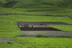 Editorial Photo Farmers plowing the ground on bulls, the village of Ushguli, Georgia Royalty Free Stock Images