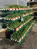 EDITORIAL: Una variedad de planos vegetales del jard?n en venta en un minorista de la granja y del jard?n de Illinois imagen de archivo
