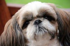 Edler Hund mit den traurigen Augen Stockbilder