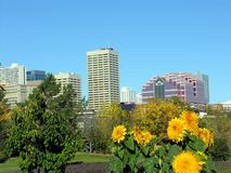 Edmonton with Flowers. Edmonton city skyline in the fall with yellow flowers in front Stock Images