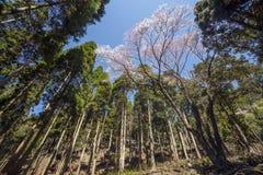 Edohigan-Kirschhoher Baum Stockfoto