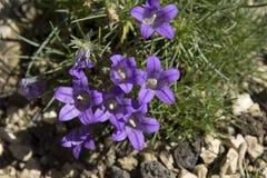 Edraianthus dinaricus Fotografering för Bildbyråer