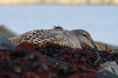 Edredon kaczki obsiadanie na gniazdeczku Zdjęcie Royalty Free
