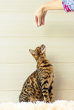Educação e formação o gato novo de Bengal Imagem de Stock Royalty Free