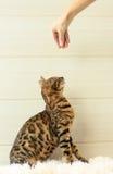 Educação e formação o gato novo de Bengal Imagens de Stock