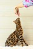 Educação e formação o gato novo de Bengal Fotografia de Stock