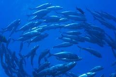 Educando jaques, grande recife de barreira Foto de Stock Royalty Free