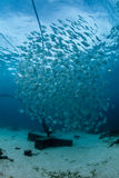 Educando o batfish Fotografia de Stock Royalty Free