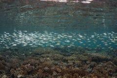 Educando os peixes de prata Fotos de Stock