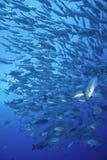 Educando peixes tropicais Fiji fotografia de stock royalty free