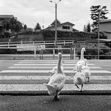 Geese`s family crossing the road Royalty Free Stock Photos