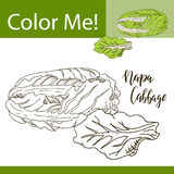 Education coloring page with vegetable. Hand drawn vector illustration of napa cabbage Stock Images