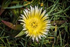 Edulis blomma för Carpobrotus på den portugisiska atlantiska klippan fotografering för bildbyråer
