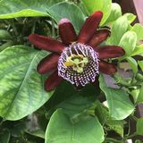 Edulis Passiflora, Passionfruit, passionfrukt arkivfoton