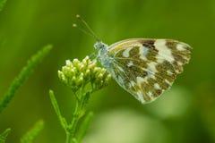 Edusa bianco orientale della farfalla o di Pontia del bagno Immagini Stock