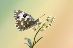 Edusa de Pontia de la mariposa en un día de verano en una flor del campo que espera temprano los primeros rayos del sol foto de archivo