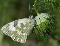 Edusa Pontia бабочки Стоковое Изображение