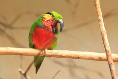 Edwards fig parrot Royalty Free Stock Photos