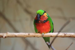 Edwards fig parrot Stock Photo