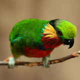 Edwards's Fig Parrot Stock Photography
