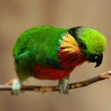 Edwards's Fig Parrot. Psittaculirostris edwardsii - Edwards's Fig Parrot - Australia - North New Guinea Stock Photography