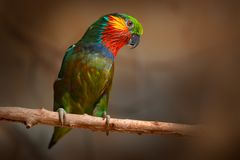 Edwards`s Fig parrot, Psittaculirostris edwardsii, from humid lowland forests in north-eastern New Guinea, Asia. Parrot in the na. Ture habitat. Lory sitting on stock image