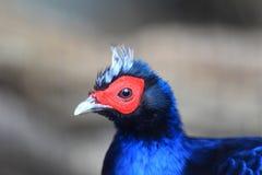 Edwards's pheasant Royalty Free Stock Photos