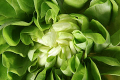 EDZR-Fresh Lettuce Close-up Stock Images