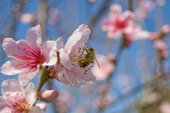 Ee. A bee resting on a cherry blossom in the spring stock photos