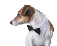Eegant dog with tielooking to the side Stock Images