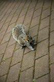 Eekhoorn Stock Foto's