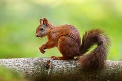 Eekhoorn Royalty-vrije Stock Afbeelding