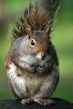 Eekhoorn Royalty-vrije Stock Foto's
