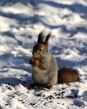 Eekhoorn Royalty-vrije Stock Afbeeldingen