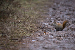 Eekhoorn Royalty-vrije Stock Fotografie