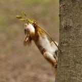Eekhoorn Stock Afbeelding