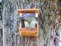 Eekhoorn Stock Fotografie