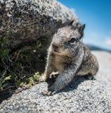 Eekhoorn in aard Stock Fotografie
