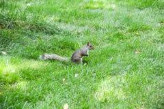 Eekhoorn bij centraal park stock fotografie