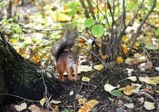 Eekhoorn bij de boom in het bos Royalty-vrije Stock Afbeeldingen